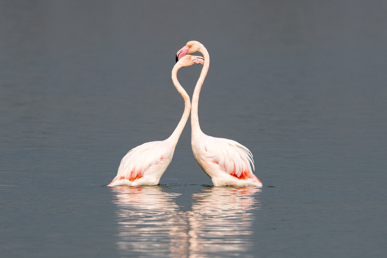 Greater flamingos interacting, Axios Delta National Park, Thessaloniki, Greece