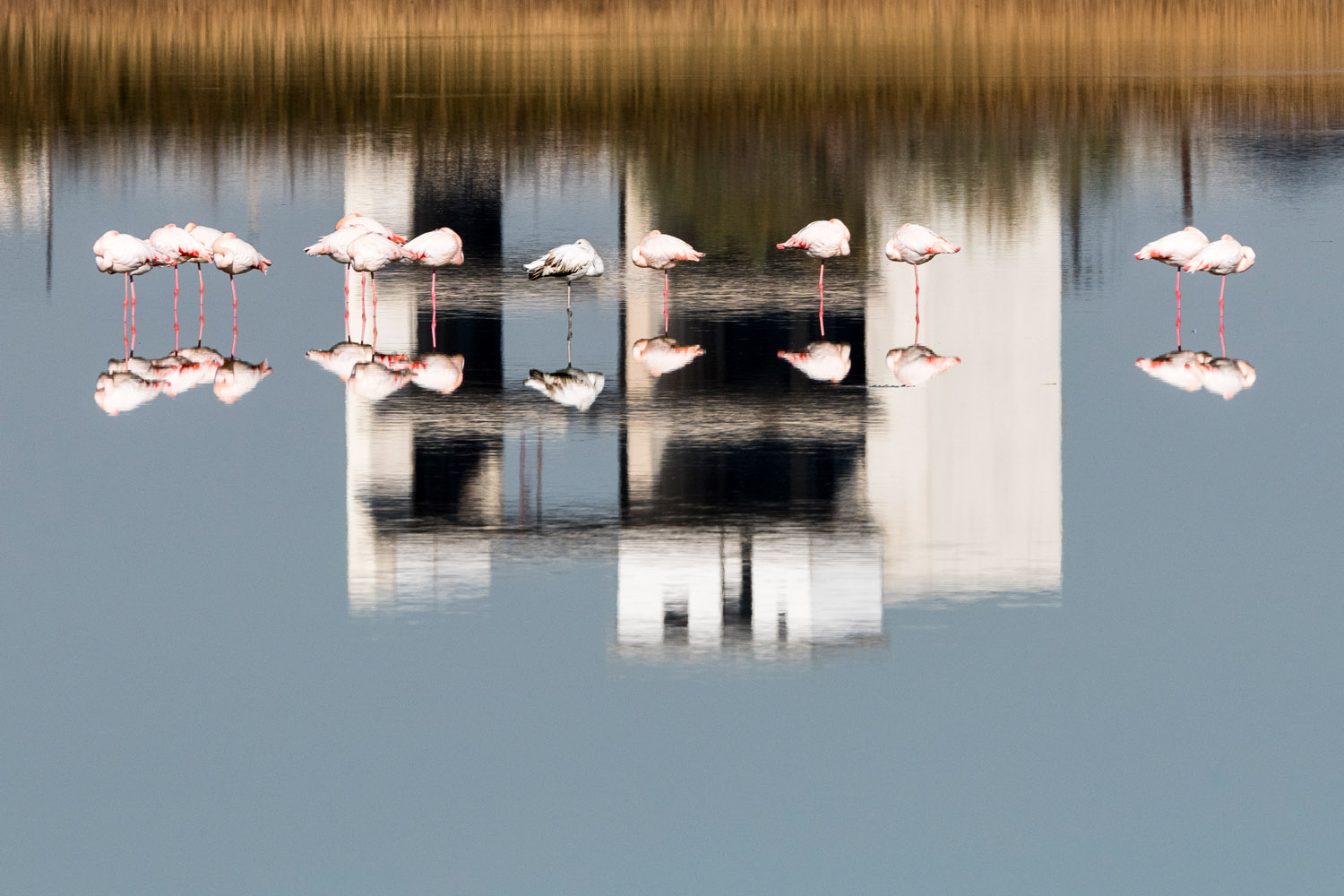 Greater flamingos sleeping in reflection of building, Axios Delta National Park, Thessaloniki, Greece