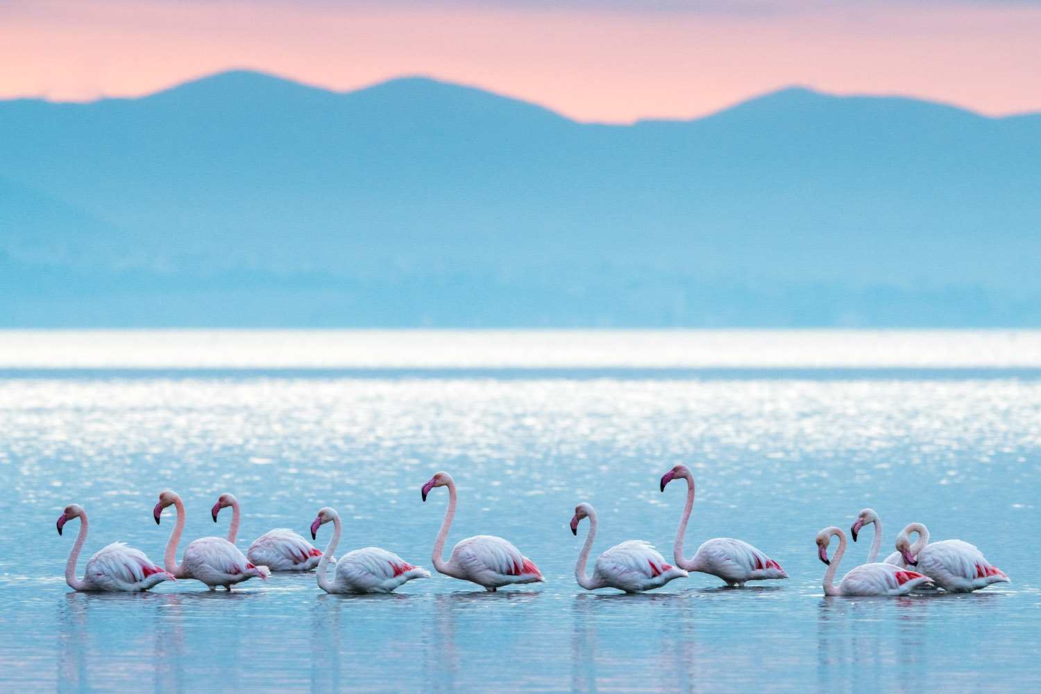 Greater flamingos in Thermaic Gulf at sunrise, Axios Delta National Park, Thessaloniki, Greece