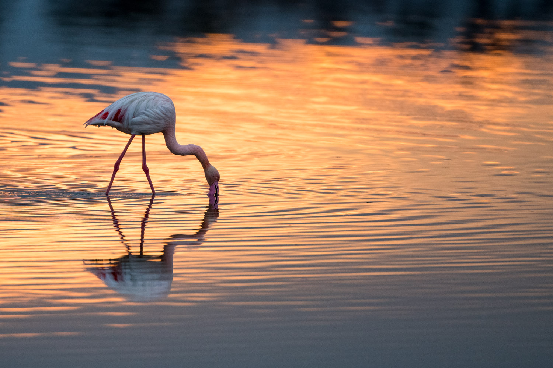 Greater flamingo feeding at sunrise, Axios Delta National Park, Thessaloniki, Greece