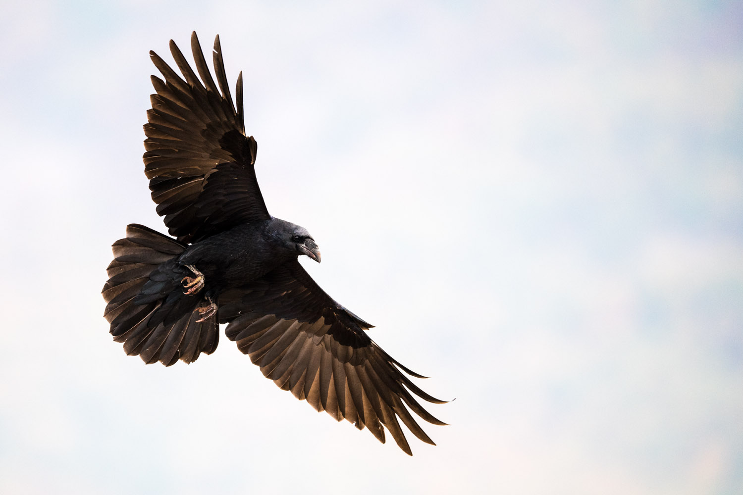 Common raven in flight, Eastern Rhodope Mountains, Bulgaria