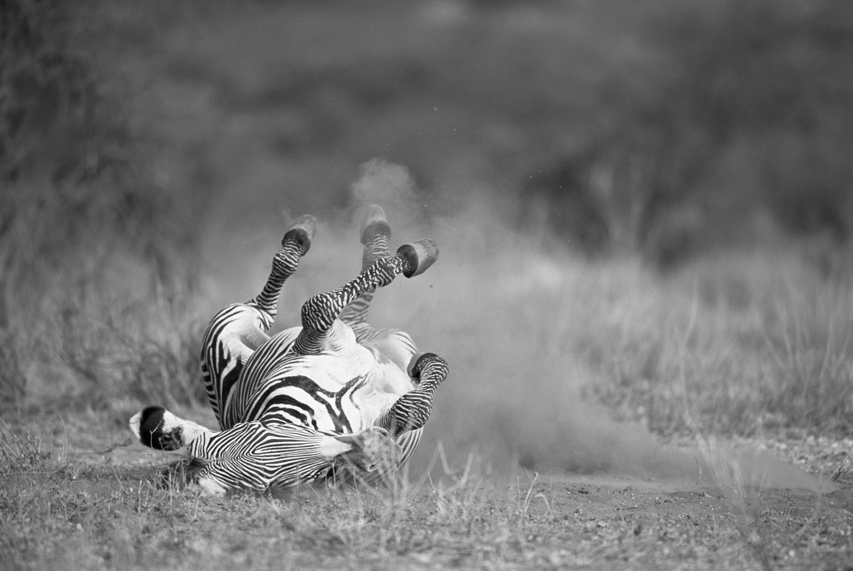 Grévy's zebra rolling in dust, Samburu National Reserve, Kenya