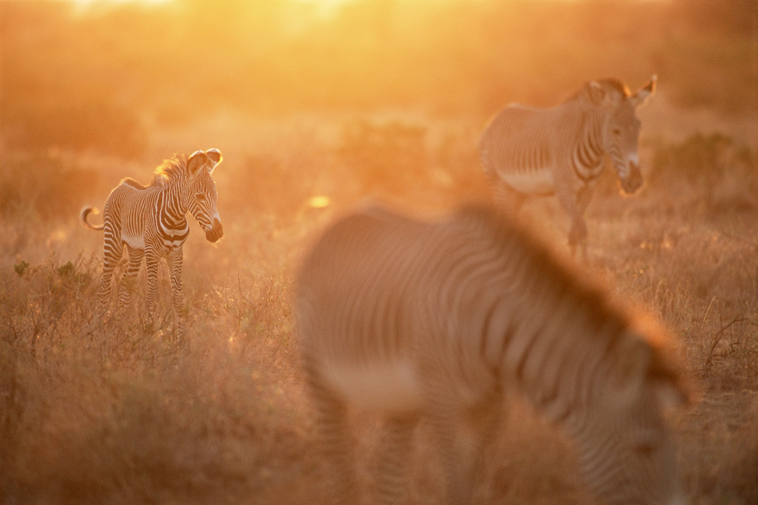 Grevy's zebra foal at sunset, Samburu National Reserve, Kenya