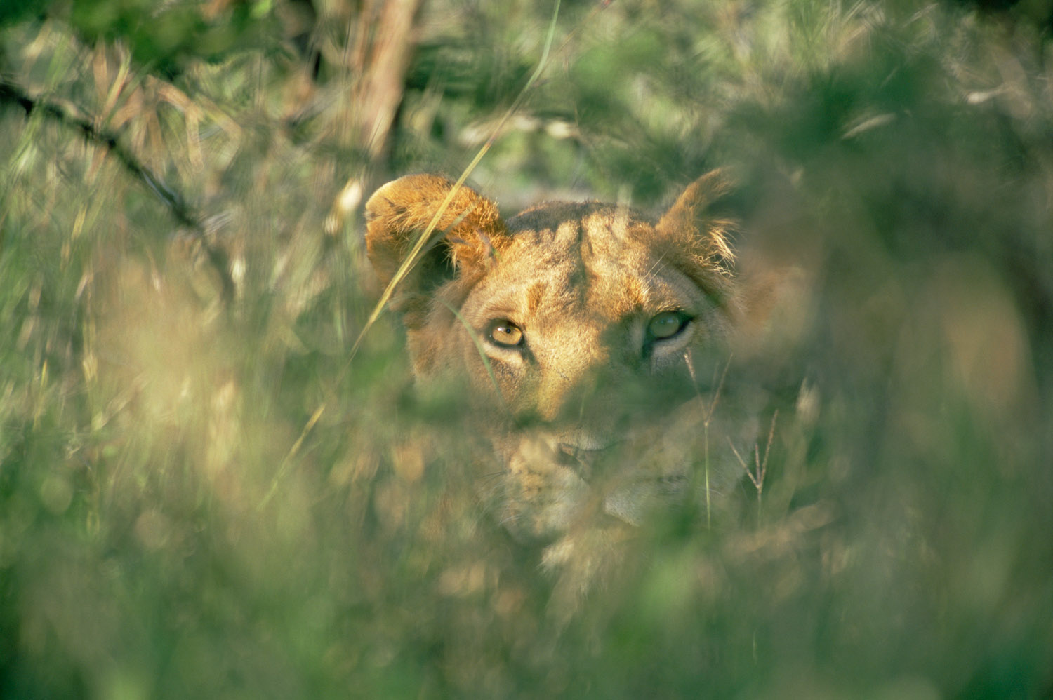 Lioness staring through foliage, Laikipia, Kenya