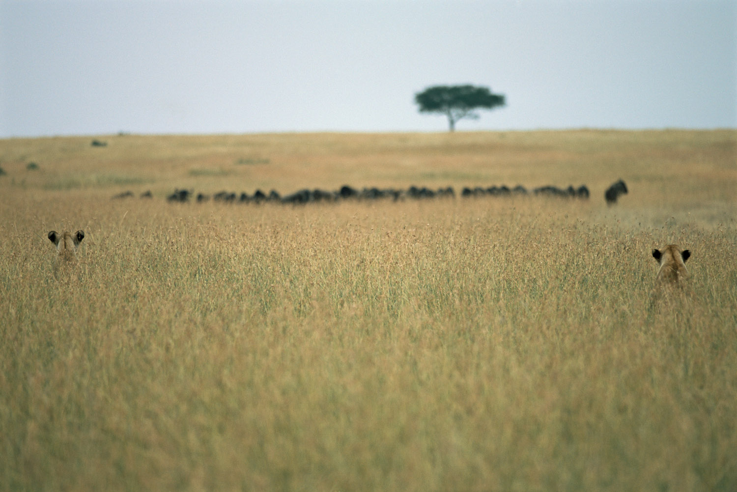 Lionesses watching wildebeest, Masai Mara National Reserve, Kenya