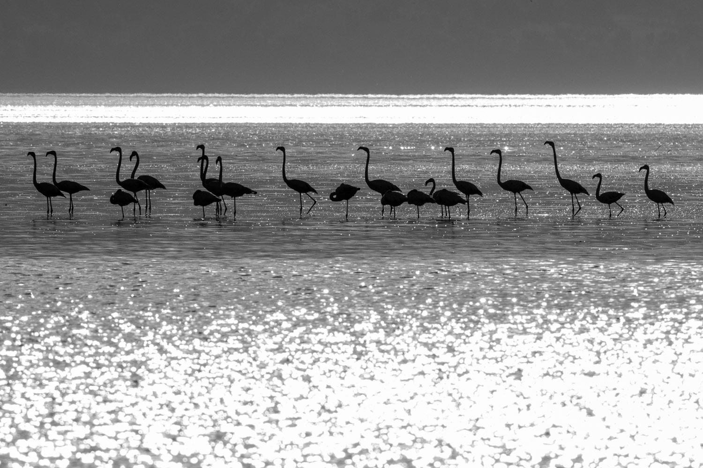 Greater flamingos, Lake Kerkini, Greece
