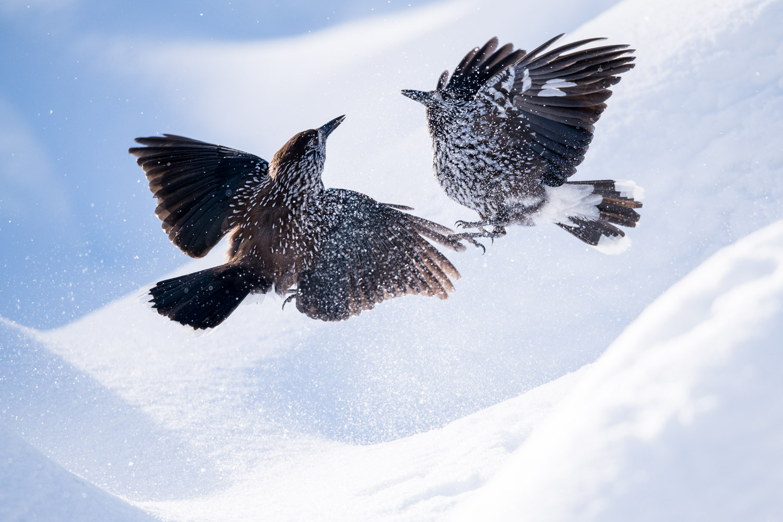Spotted nutcrackers fighting in snow, Vitosha Mountains, Sofia, Bulgaria