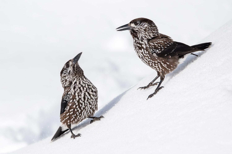 Spotted nutcrackers in snow, Vitosha Mountains, Sofia, Bulgaria