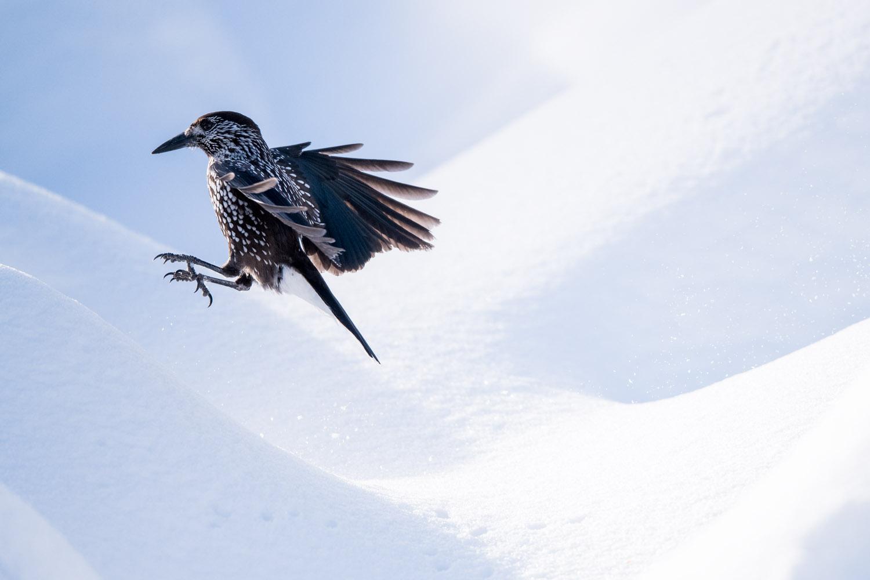 Spotted nutcracker in flight in snow, Vitosha Mountains, Sofia, Bulgaria