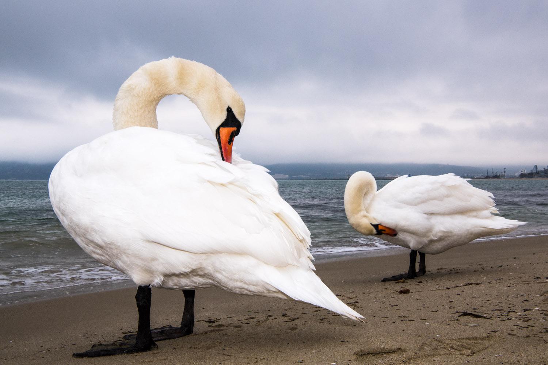 Mute swans preening, Black Sea Coast, Varna, Bulgaria