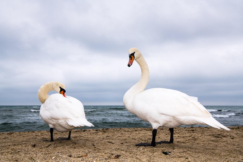 Mute swans wintering on Black Sea Coast, Varna, Bulgaria