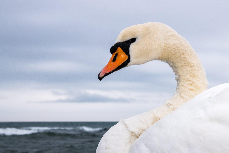 Mute swan wintering on Black Sea Coast, Varna, Bulgaria