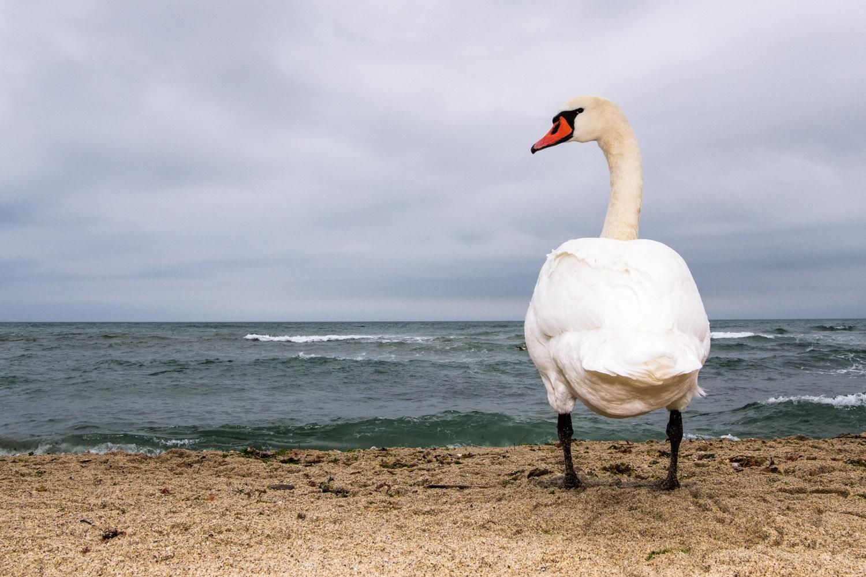 Mute swan preening, Black Sea Coast, Varna, Bulgaria