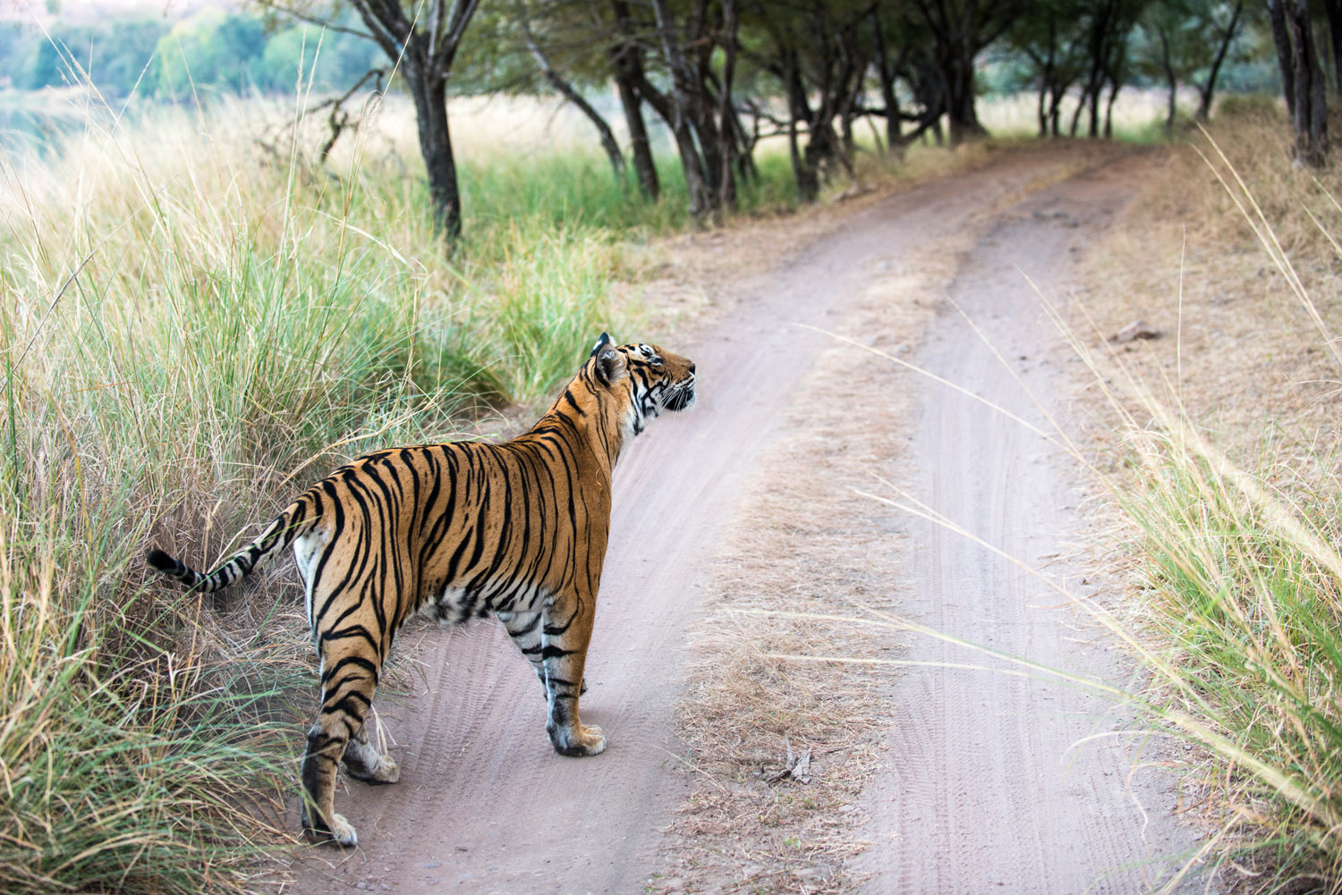 Bengal tigress on track, Ranthambhore National Park, Rajasthan, India