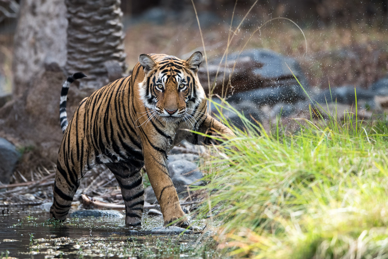 Bengal tiger at edge of stream, Ranthambhore National Park, Rajasthan, India