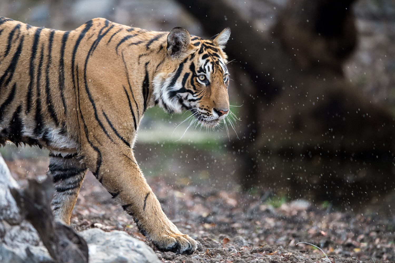 Bengal tiger, Ranthambhore National Park, Rajasthan, India