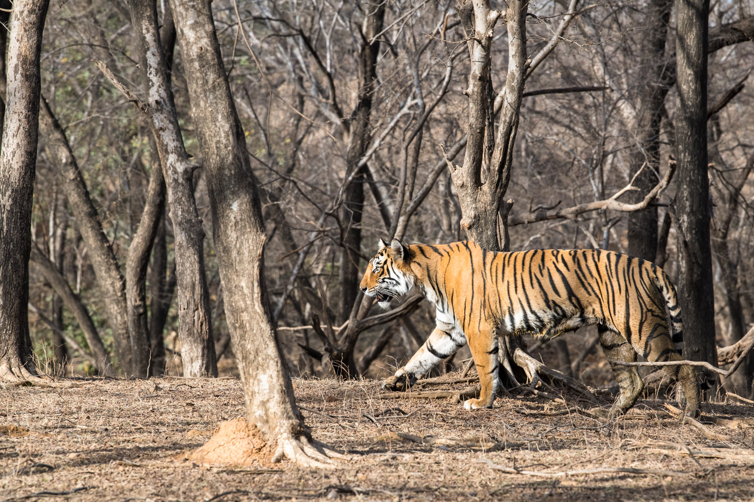 Bengal tigress walking through dhok tree forest, Ranthambhore National Park, Rajasthan, India