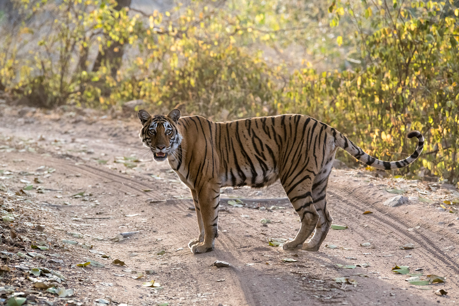 Bengal tigress on forest track, Ranthambhore National Park, Rajasthan, India