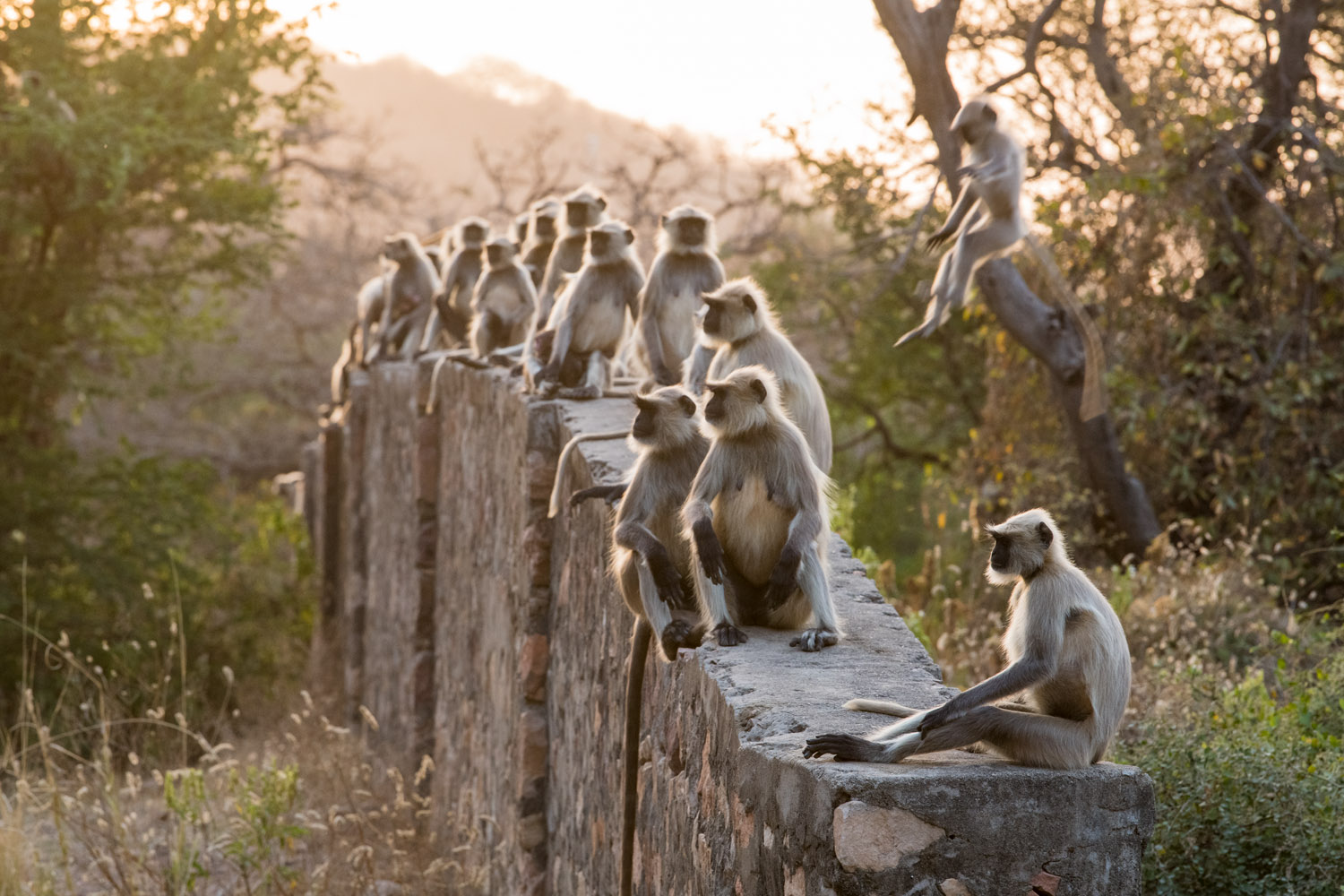 Hanuman langur monkeys sitting on wall, Ranthambhore National Park, Rajasthan, India