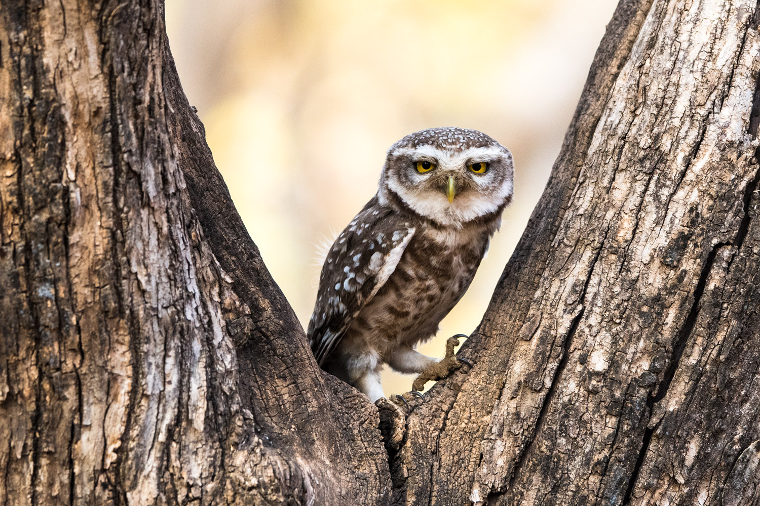 Spotted owlet in dhok tree, Ranthambhore National Park, Rajasthan, India