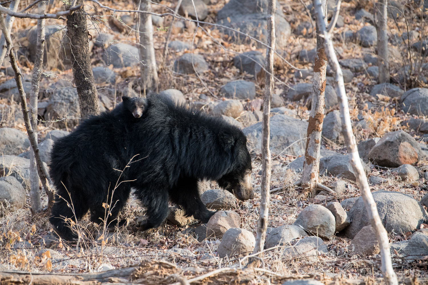 Sloth bear mother carrying cub on back, Ranthambhore National Park, Rajasthan, India