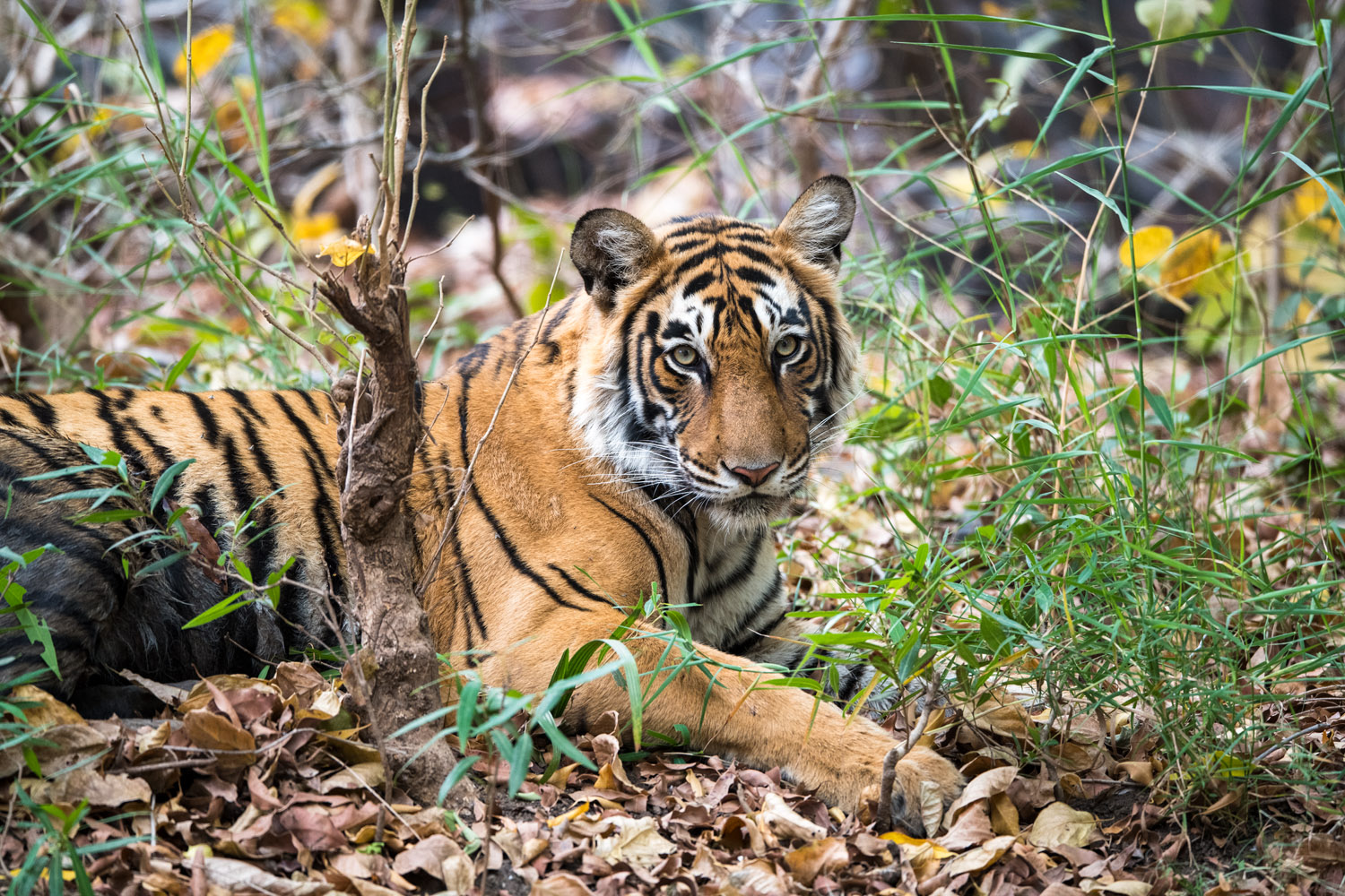 Bengal tigress resting, Ranthambhore National Park, Rajasthan, India