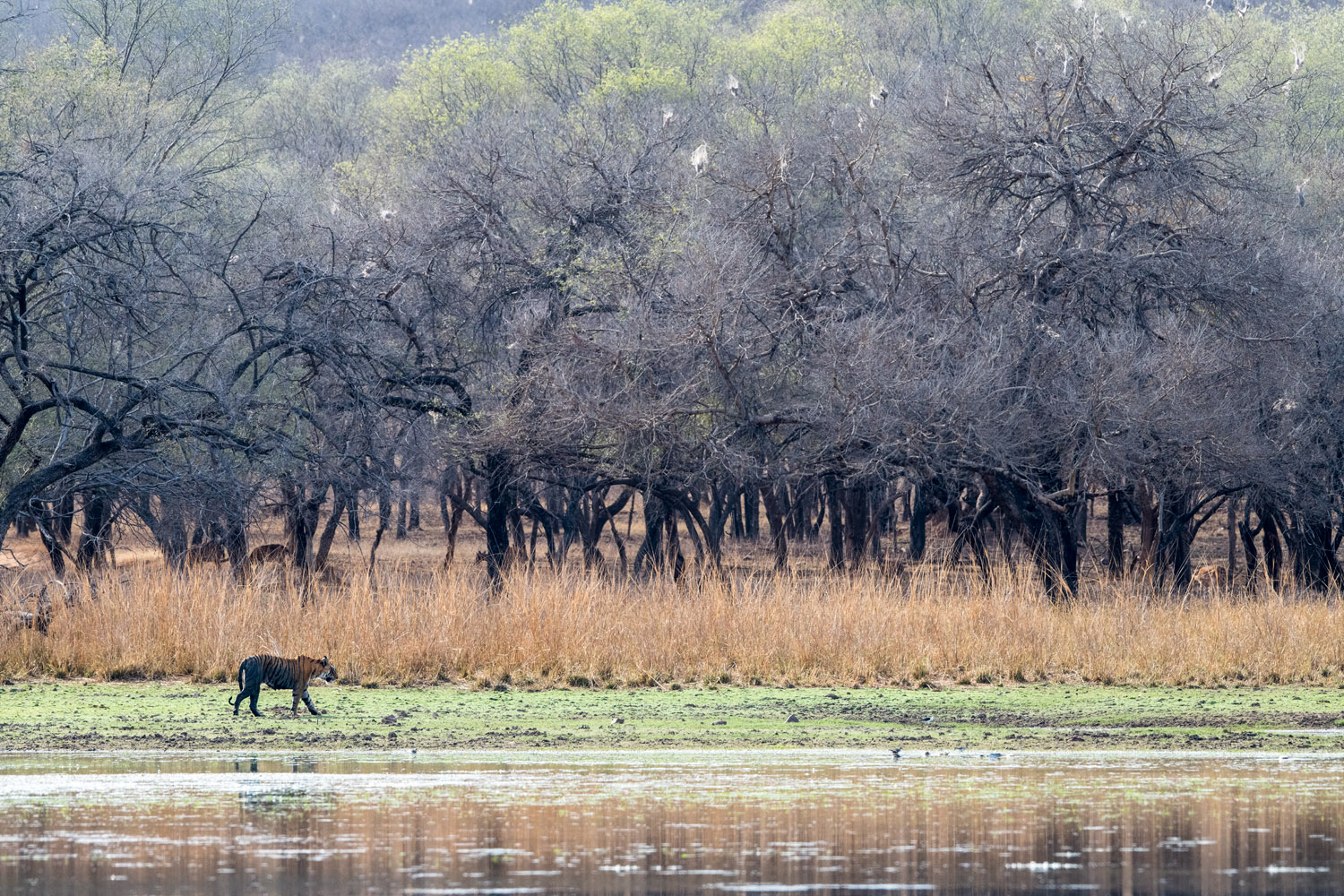 Bengal tigress roaming along edge of lake, Ranthambhore National Park, Rajasthan, India