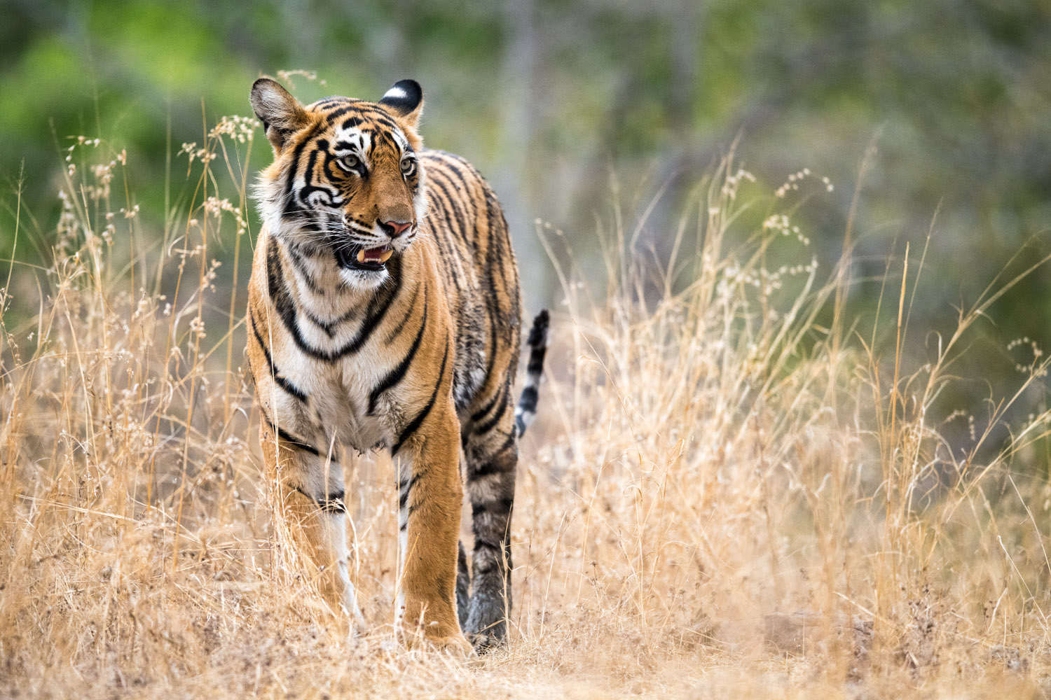 Bengal tigress, Ranthambhore National Park, Rajasthan, India