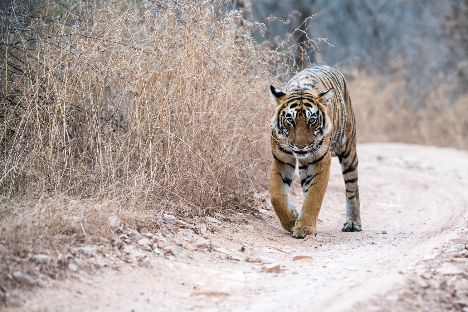 Bengal tigress walking along forest track, Ranthambhore National Park, Rajasthan, India