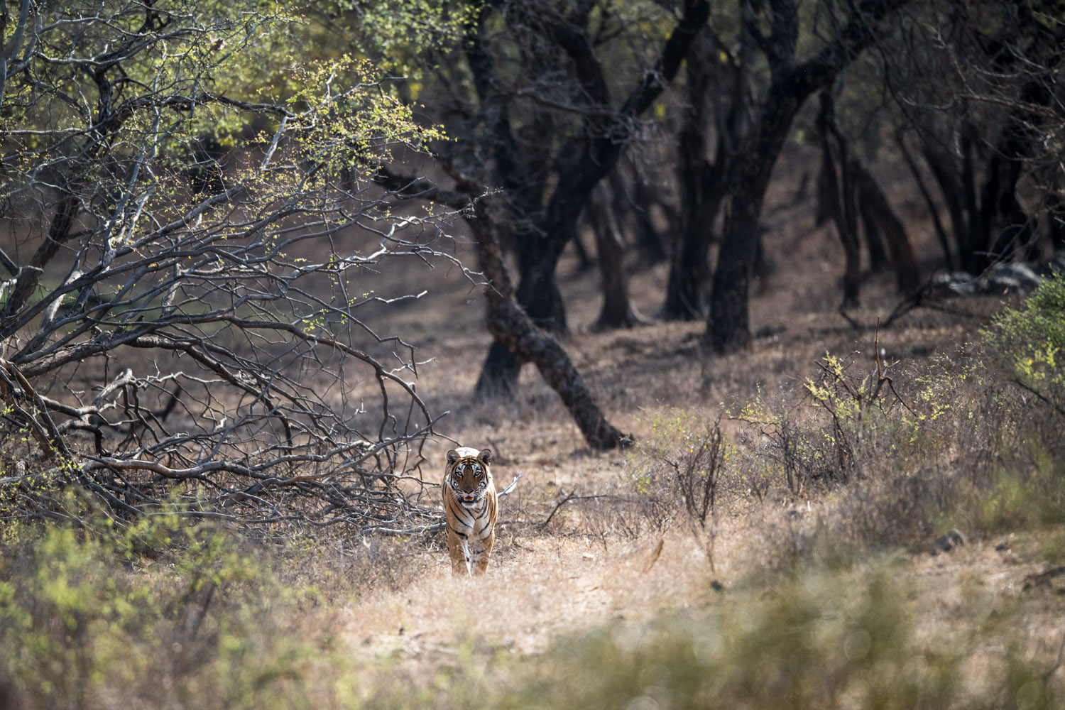 Bengal tigress emerging from dhok tree forest, Ranthambhore National Park, Rajasthan, India
