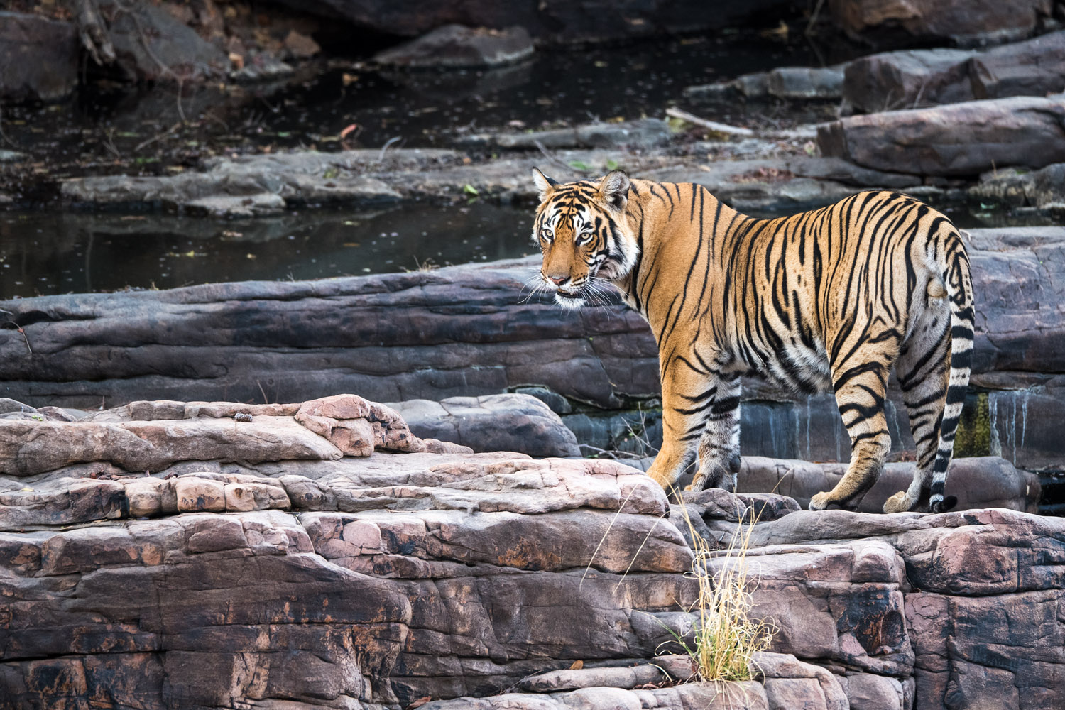 Bengal tiger on rocky ledge, Ranthambhore National Park, Rajasthan, India