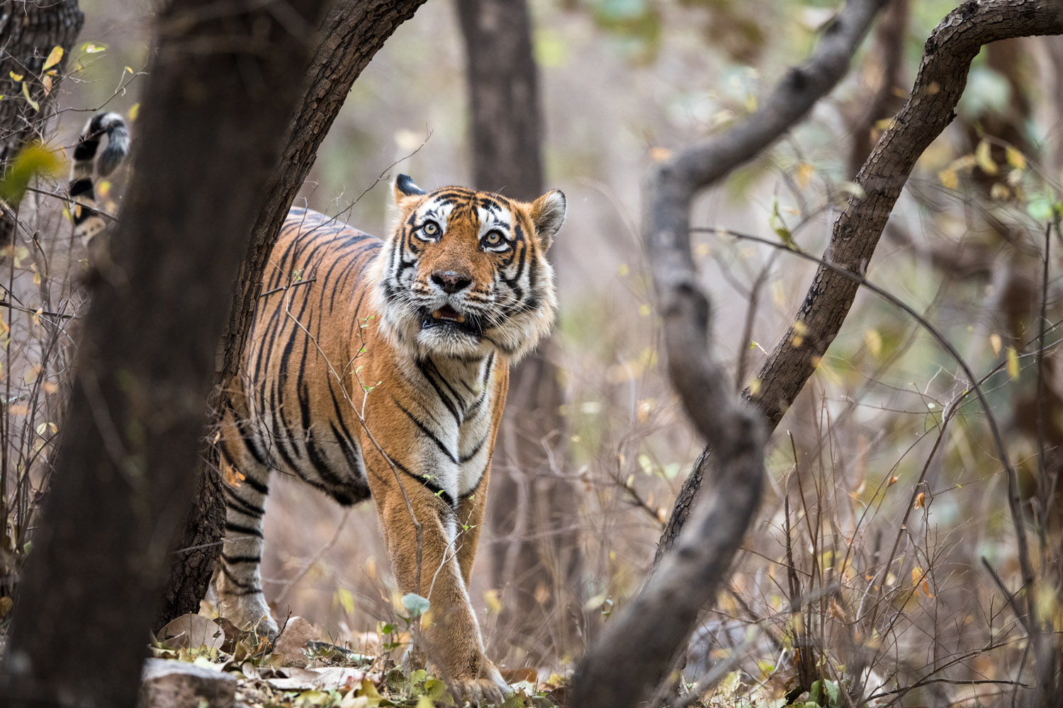 Bengal tiger in forest, Ranthambhore National Park, Rajasthan, India