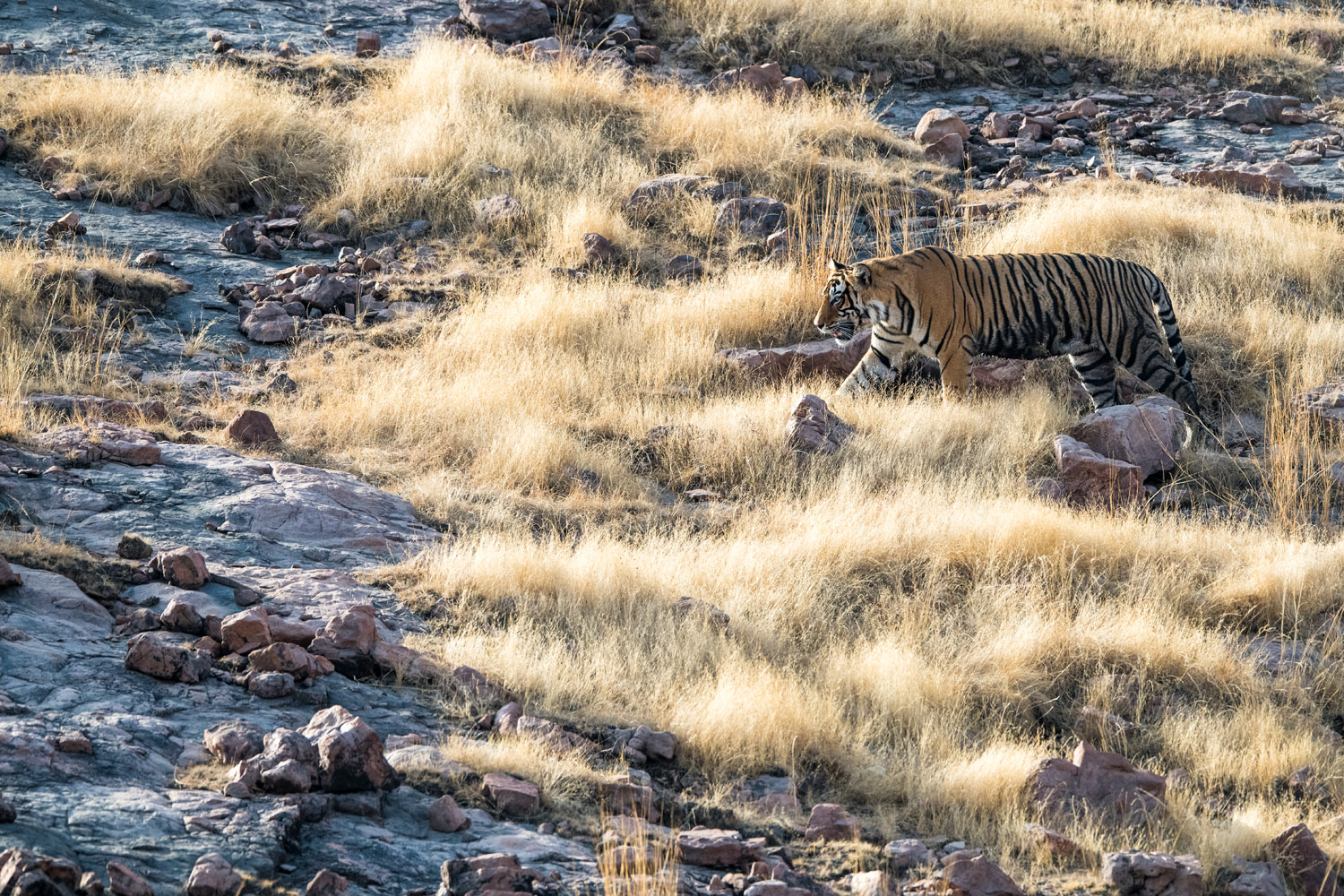 Bengal tiger walking across rocky slope, Ranthambhore National Park, Rajasthan, India