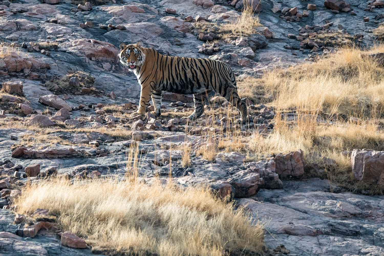 Bengal tiger on rocky slope, Ranthambhore National Park, Rajasthan, India