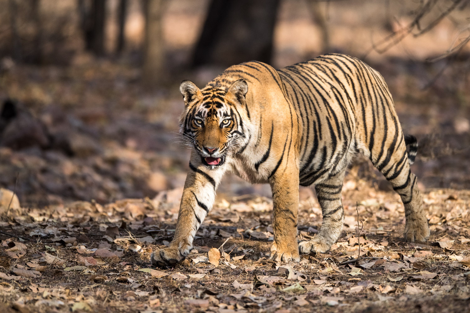 Bengal tiger on the move, Ranthambhore National Park, Rajasthan, India
