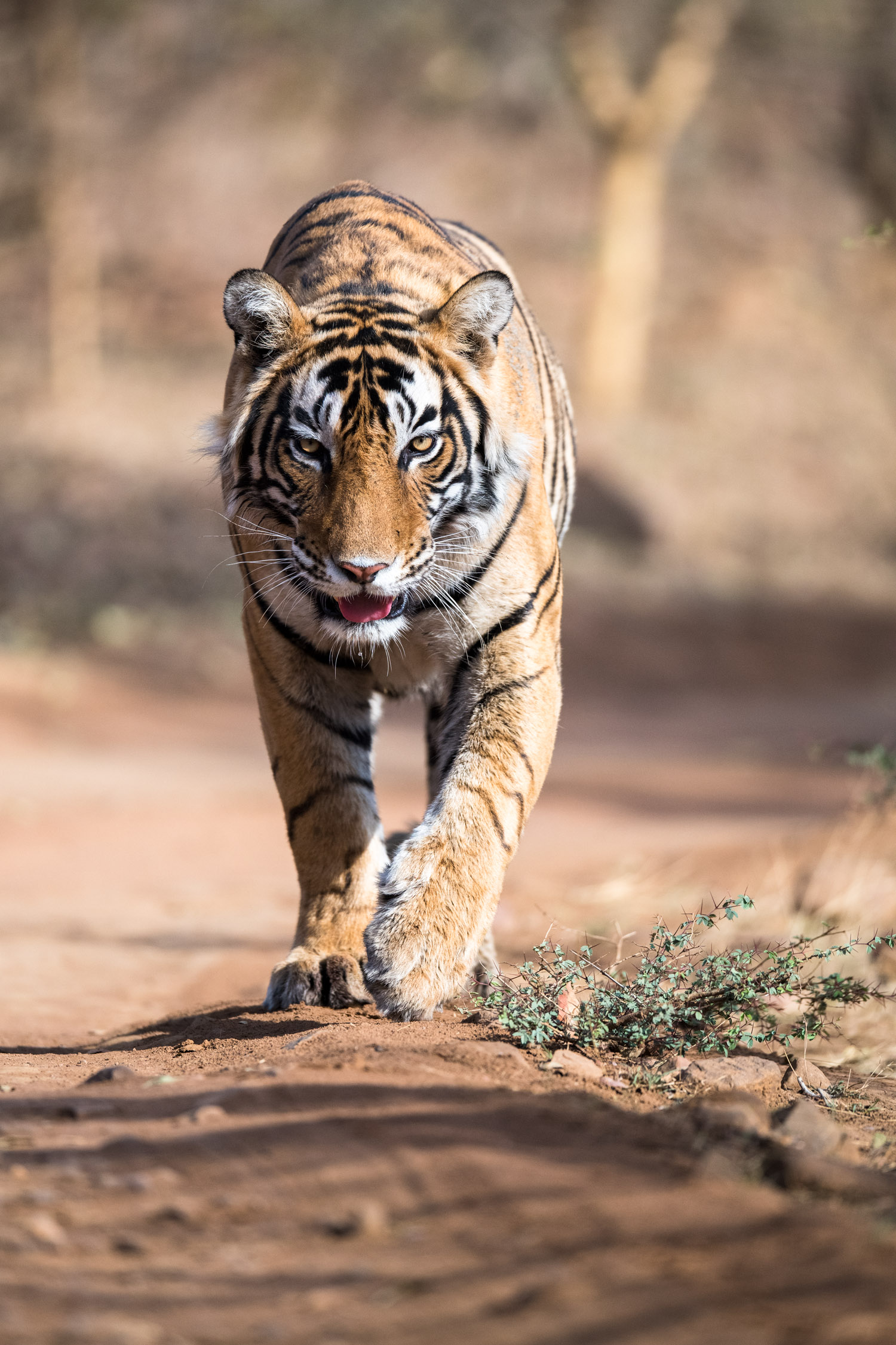 Bengal tiger approaching along forest track, Ranthambhore National Park, Rajasthan, India