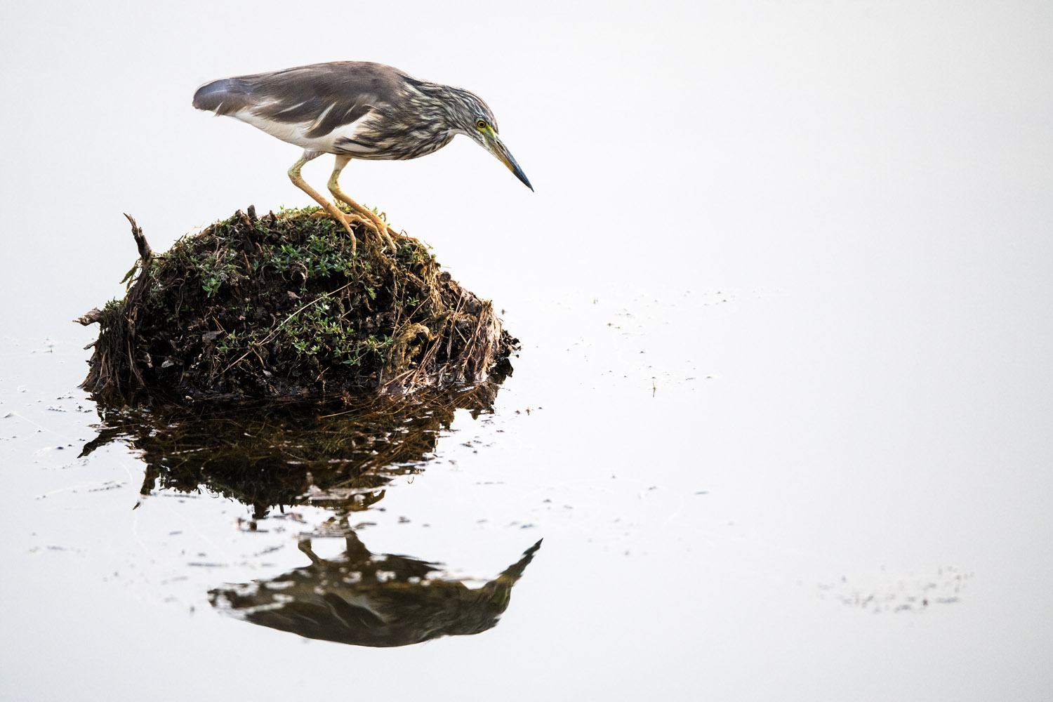 Indian pond heron, Ranthambhore National Park, Rajasthan, India