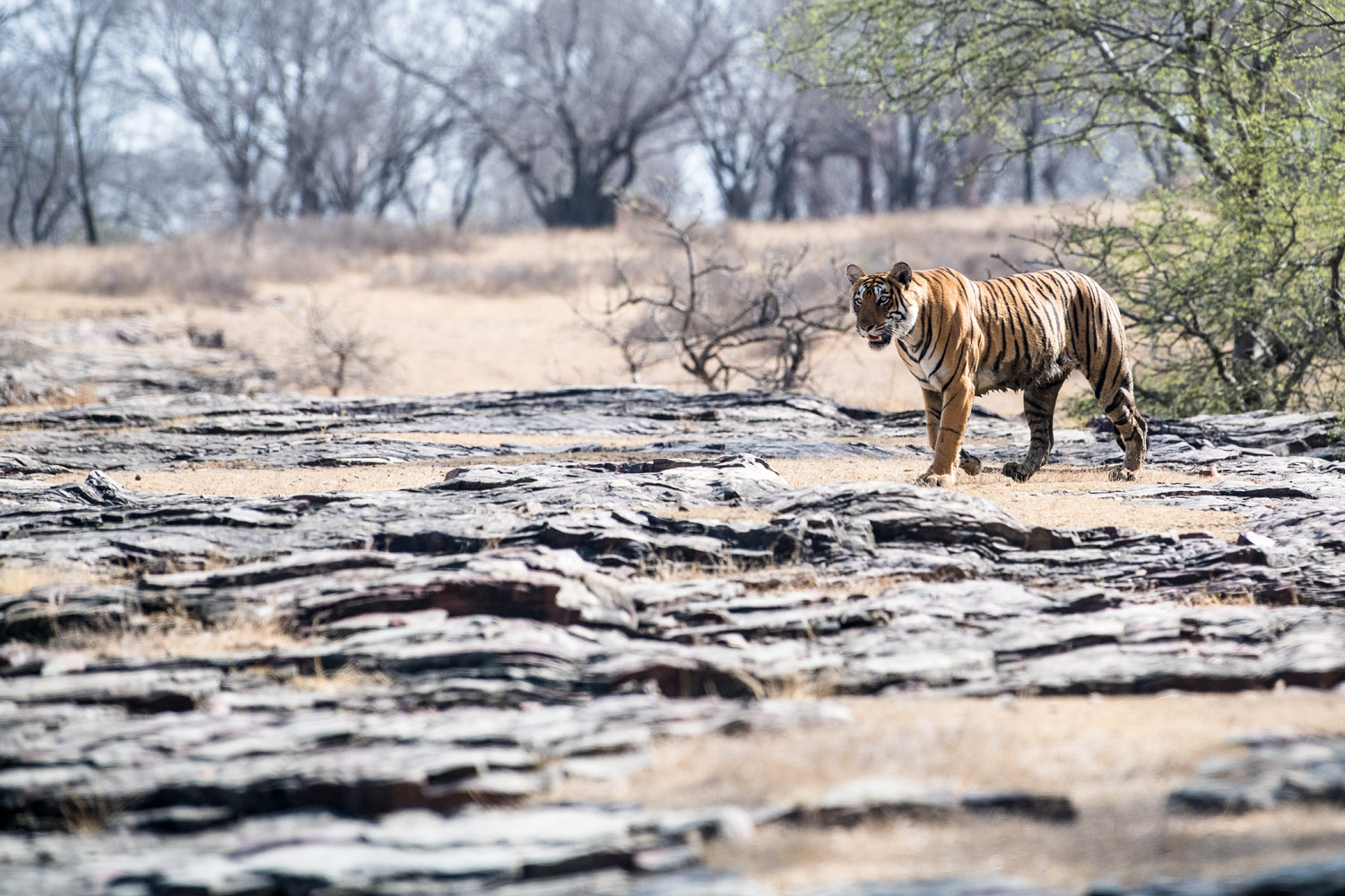 Bengal tigress on rocky slope, Ranthambhore National Park, Rajasthan, India
