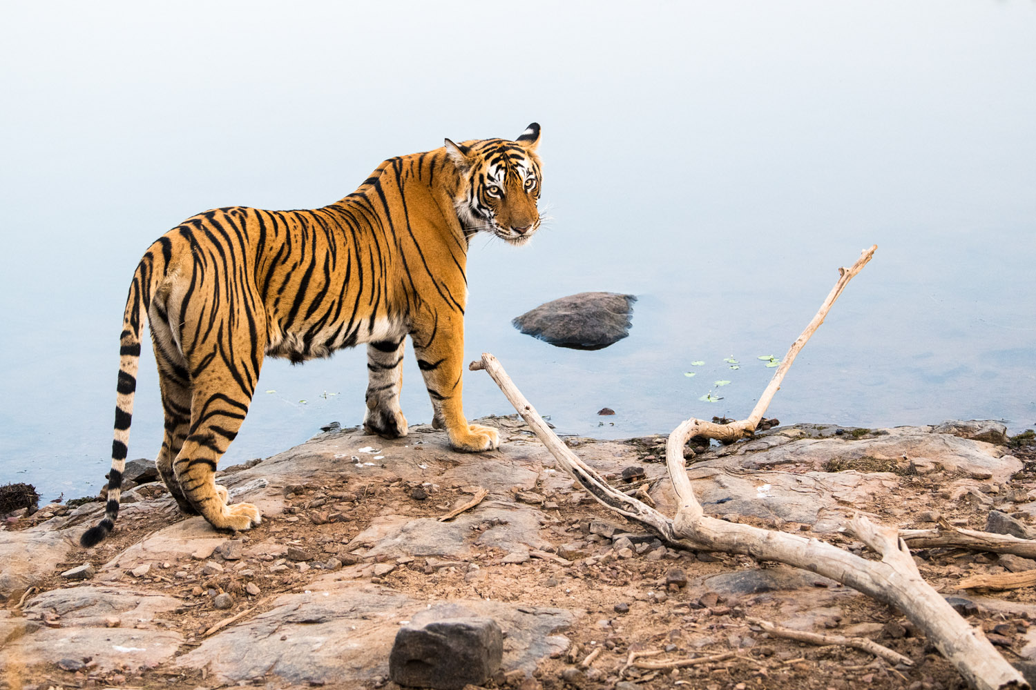Bengal tigress at edge of lake, Ranthambhore National Park, Rajasthan, India