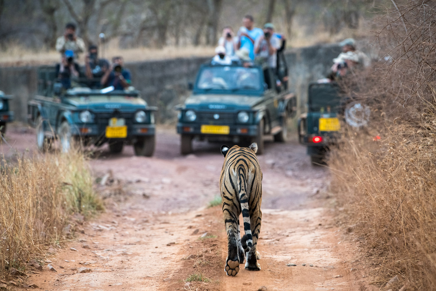 Bengal tigress approaching tourists in jeeps, Ranthambhore National Park, Rajasthan, India