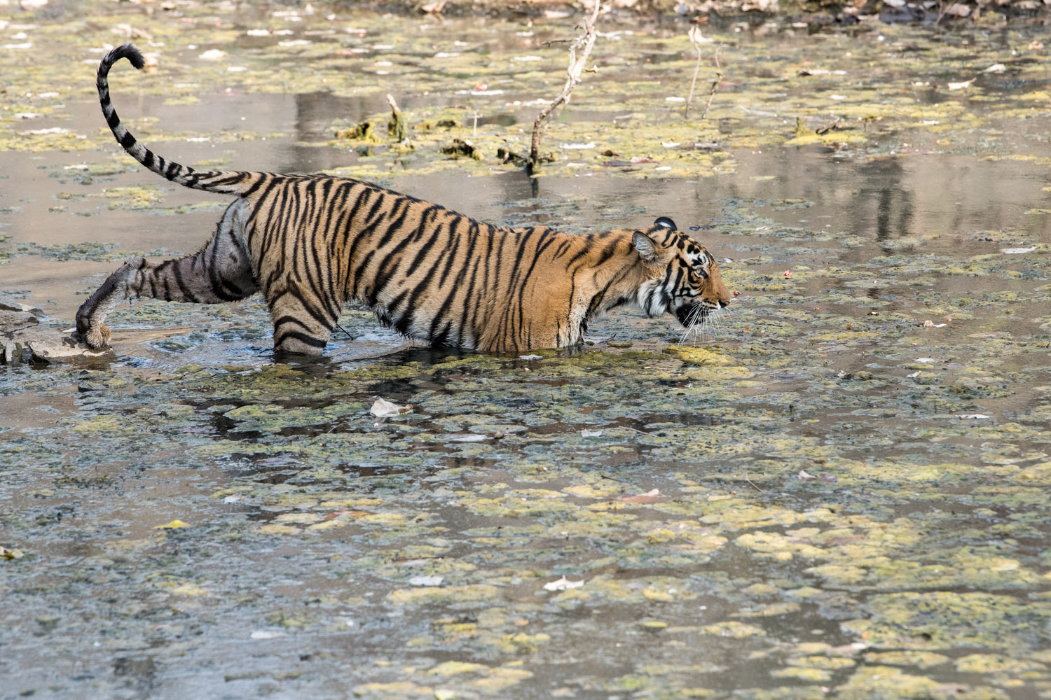 Bengal tigress crossing stream, Ranthambhore National Park, Rajasthan, India