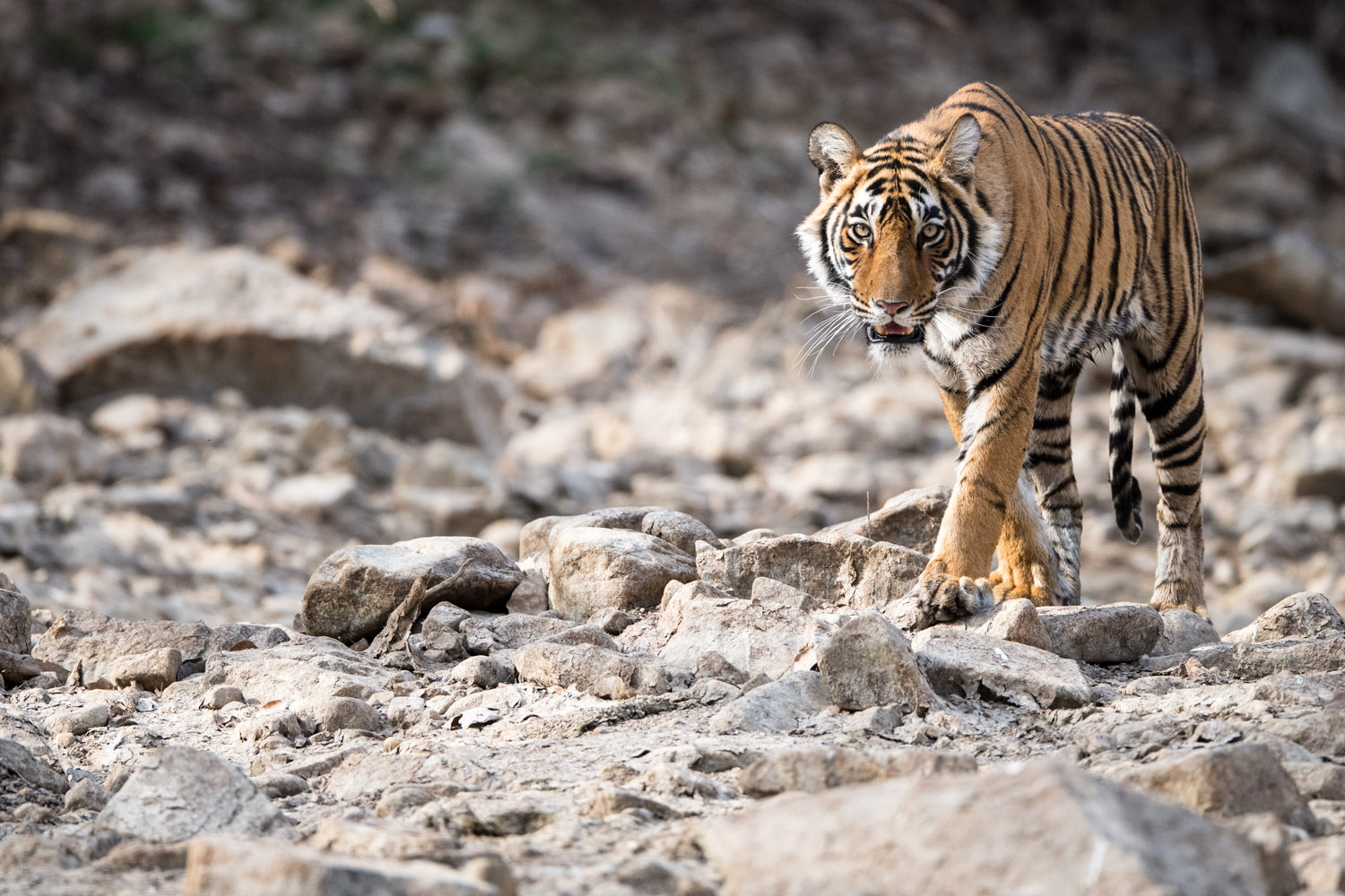 Bengal tigress walking along dry rocky river bed, Ranthambhore National Park, Rajasthan, India