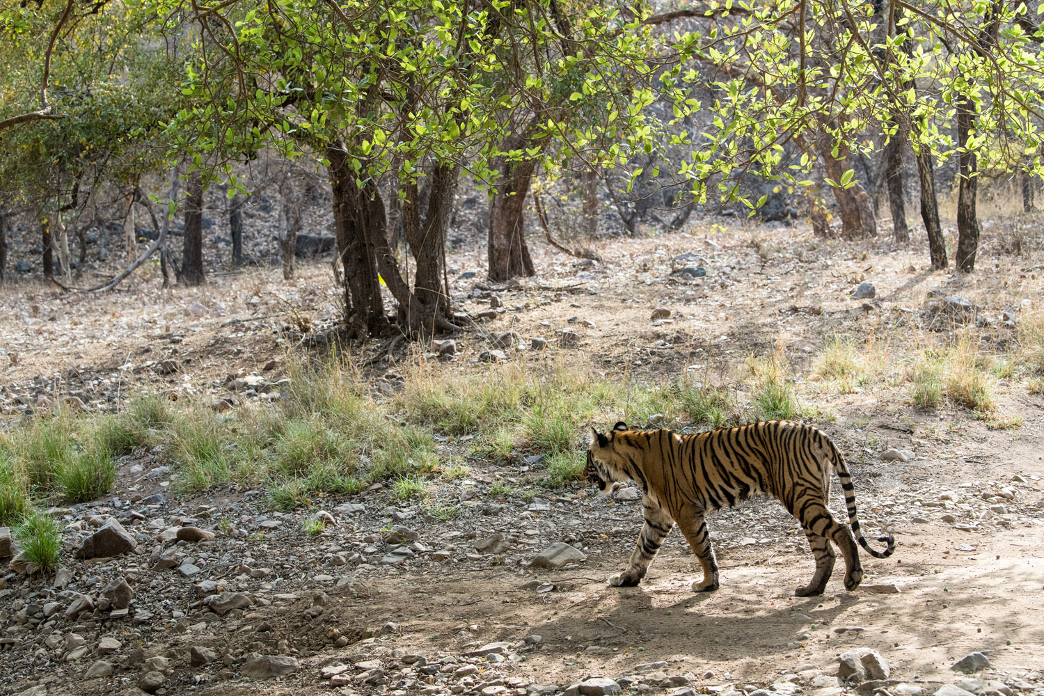 Bengal tigress walking through forest, Ranthambhore National Park, Rajasthan, India