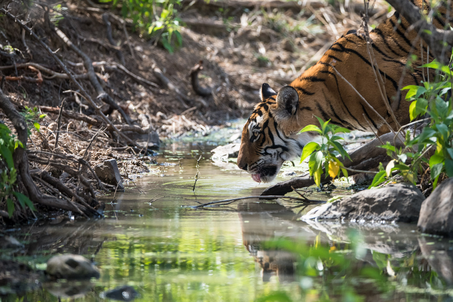Bengal tigress drinking from stream, Ranthambhore National Park, Rajasthan, India