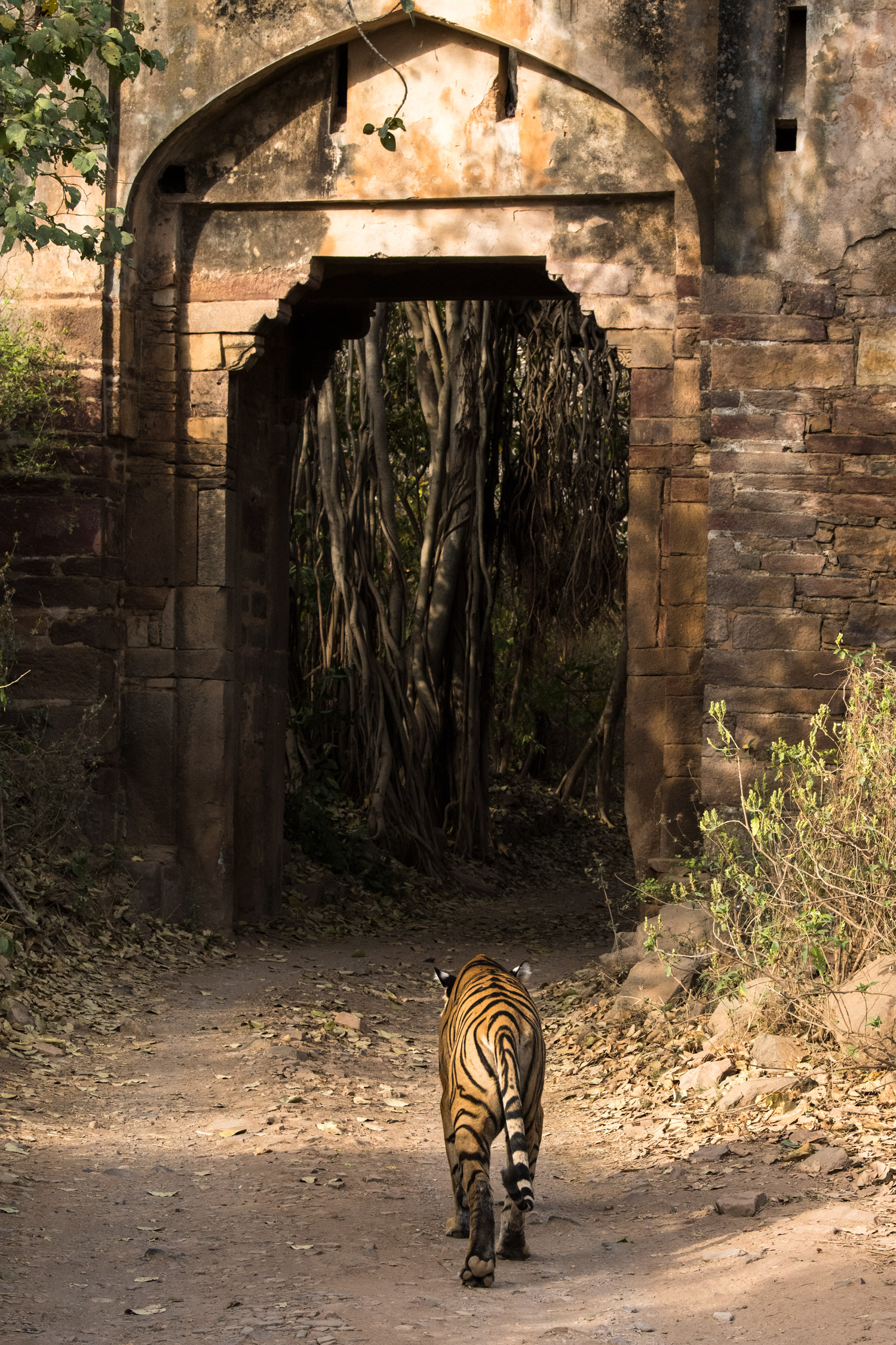 Bengal tigress walking towards historic stone archway, Ranthambhore National Park, Rajasthan, India
