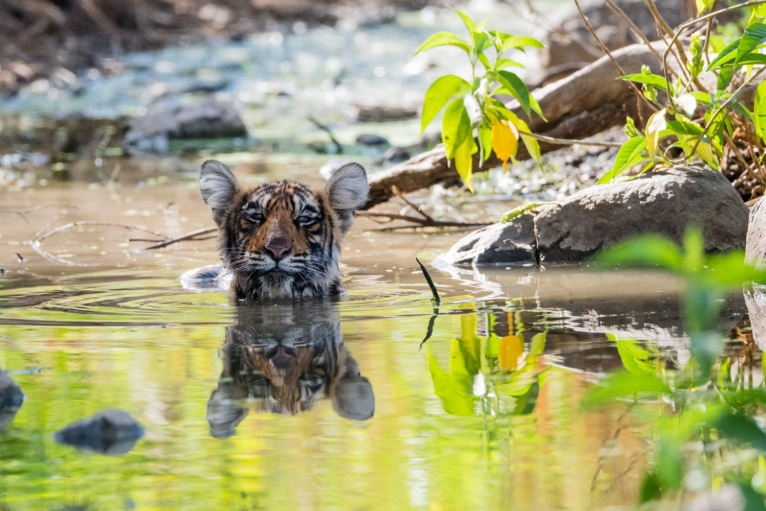 Bengal tiger cub bathing in stream, Ranthambhore National Park, Rajasthan, India
