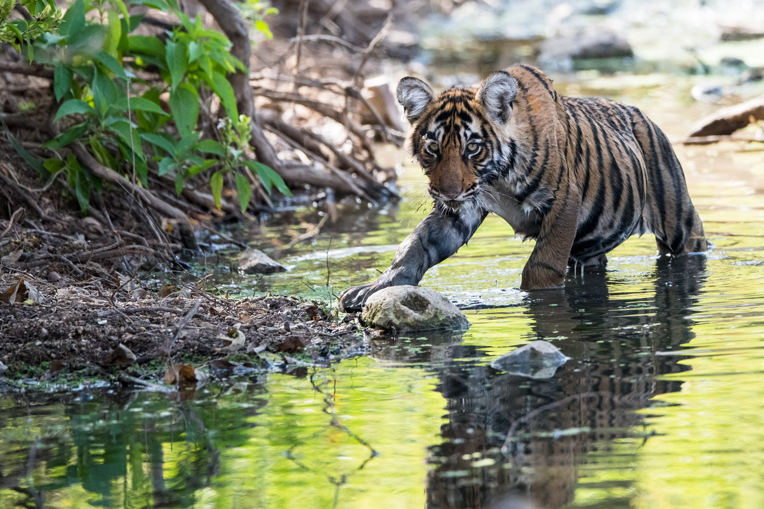 Bengal tiger cub in stream, Ranthambhore National Park, Rajasthan, India