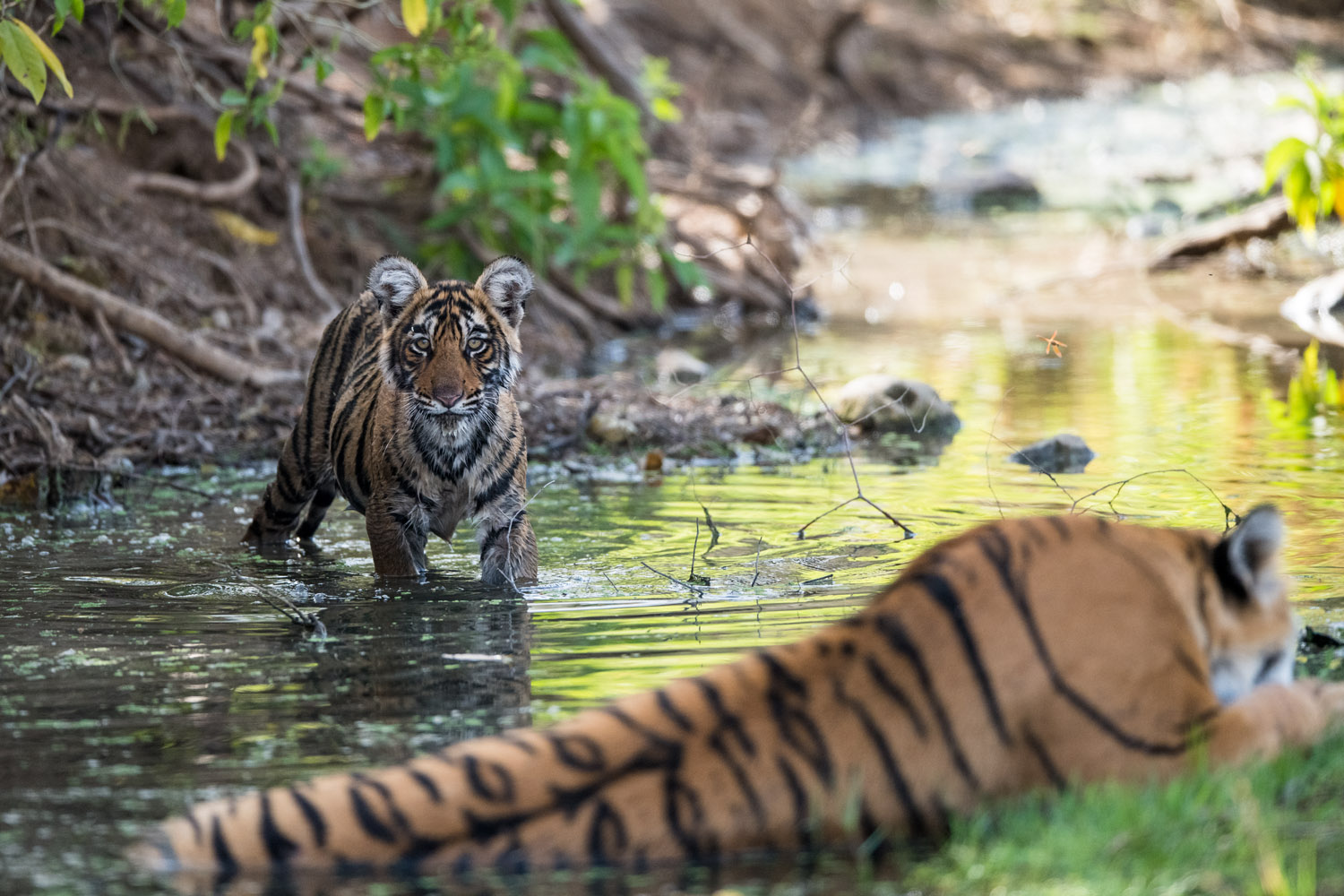 Bengal tiger cub in stream with mother, Ranthambhore National Park, Rajasthan, India