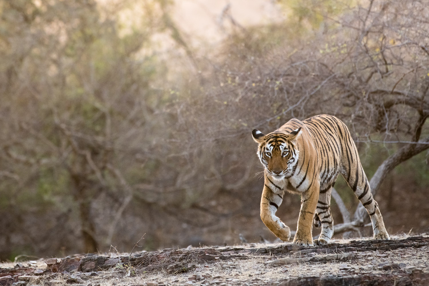 Bengal tigress on the move at dusk, Ranthambhore National Park, Rajasthan, India