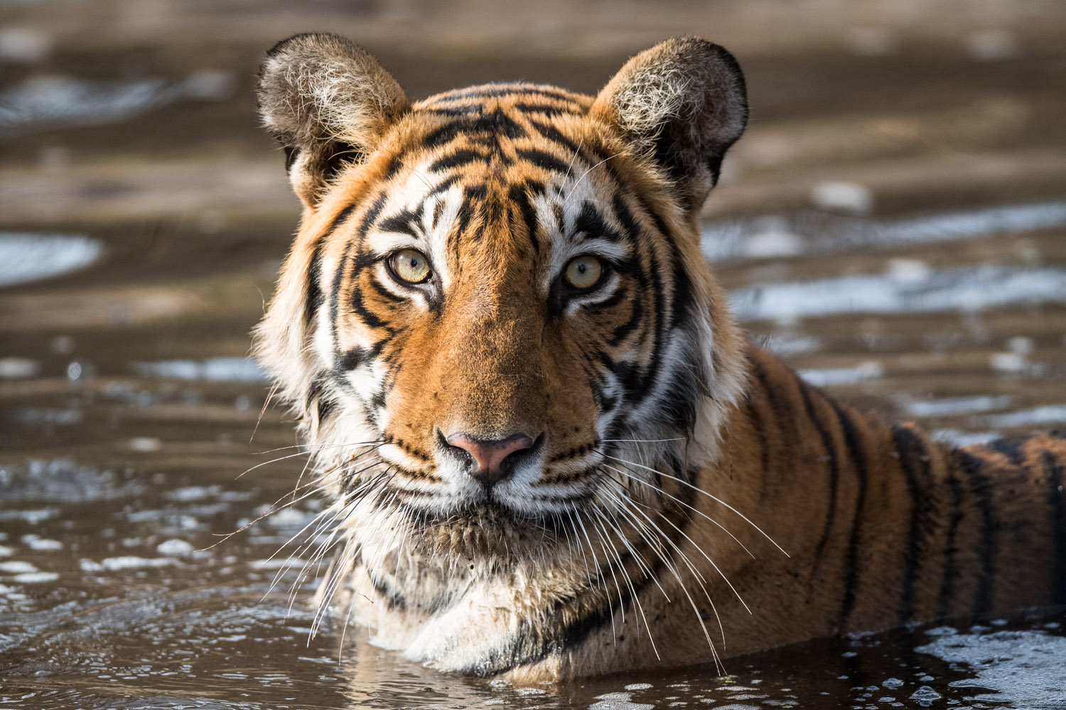 Bengal tigress bathing in pool, Ranthambhore National Park, Rajasthan, India